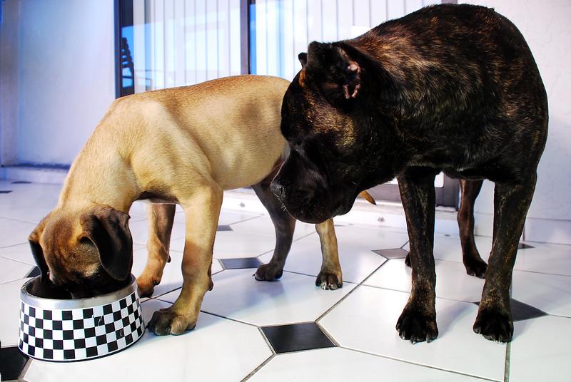 bullmastiff puppy eating