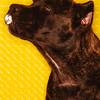 cane corso portrait kissy face