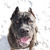 cane corso portrait