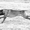 Malanois running