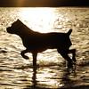 cane corso silhouette