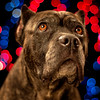 cane corso portrait with bokeh