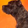 cane corso portrait profile