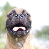 smiling bull mastiff portrait